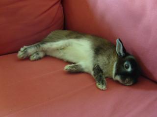 The lazy sofa bunny