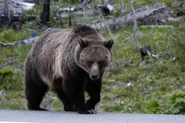 Велосипедист сбил 135-килограммового медведя; tyt-bot.livejournal.com