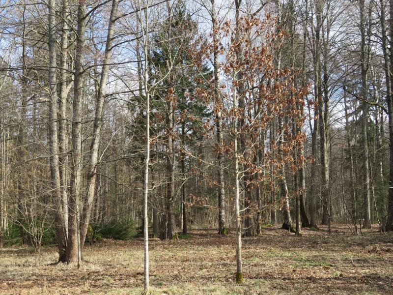 На окраине смешенного леса выделяется молодой дуб с ещё не опавшей прошлогодней листвой