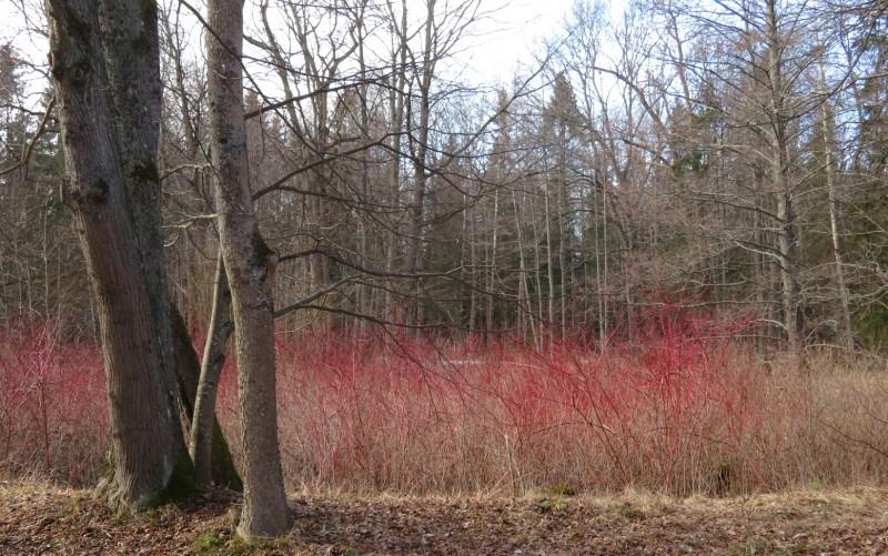 Телекрания мясокрасная (дерен кроваво-красный) — украшение садов и парков на северо-западе России