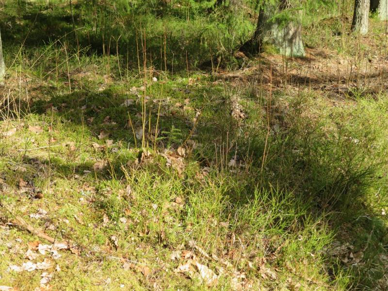 Вечнозеленые кустики черники ещё без листьев