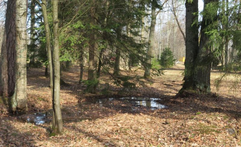 Лес над оврагом, в основном еловый, довольно редкий и сырой