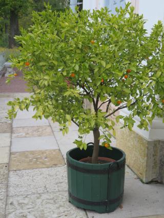 В кадке около Китайского дворца — плодоносящее апельсиновое деревцо