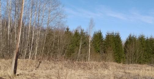 Пока буйная зелень только на елях посадки вдоль железной дороги