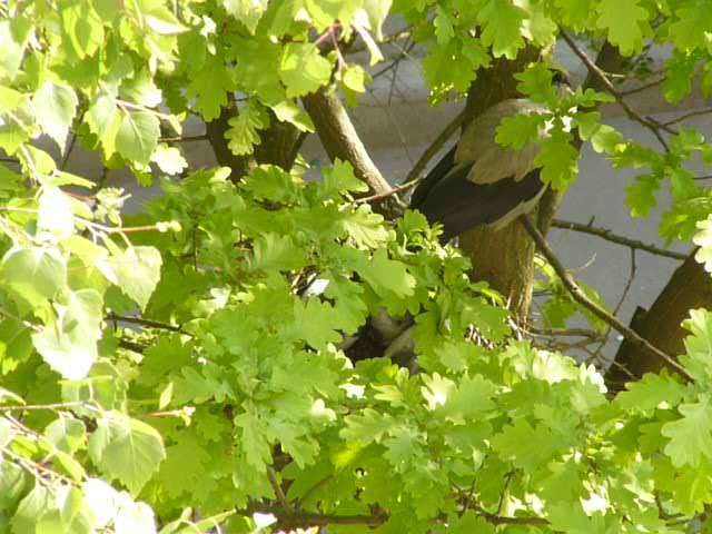 Ближе к концу мая птенец готов сняться с гнезда