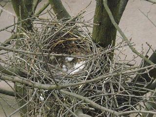 Начало апреля - в гнезде ворон лишь одно яйцо