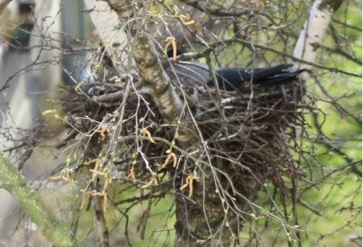 Ворона на новом гнезде высиживает яйца. Листвы еще нет, а березовые бруньки не очень-то мешают - можно через хорошую оптику наблюдать за птицами.