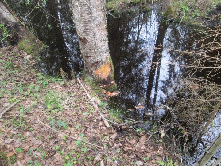 Кто-то потревожил бобра - не дал повалить в ручей дерево