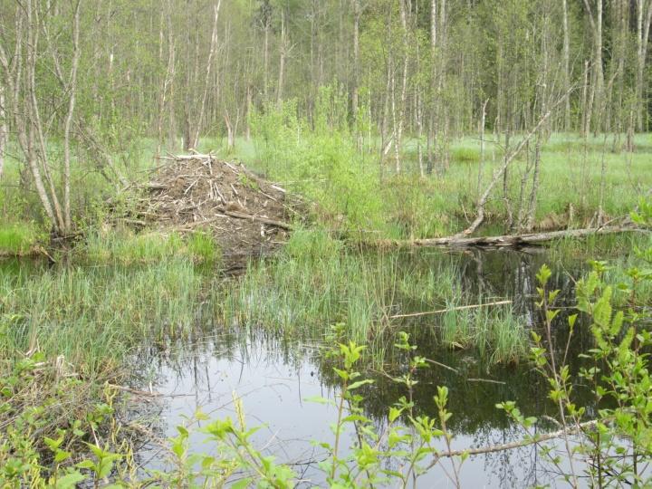 Бобровая хатка среди болота на краю леса