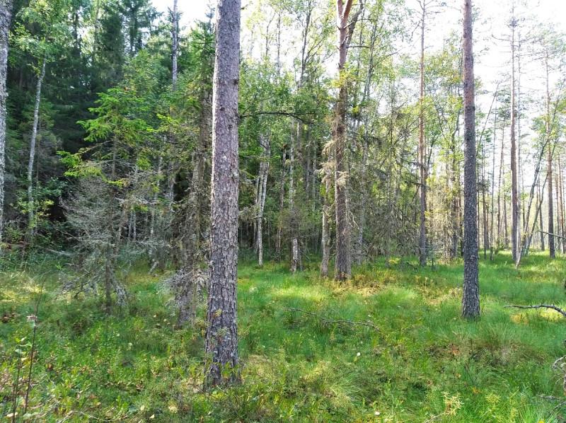 Опушка леса у кромки верхового болота