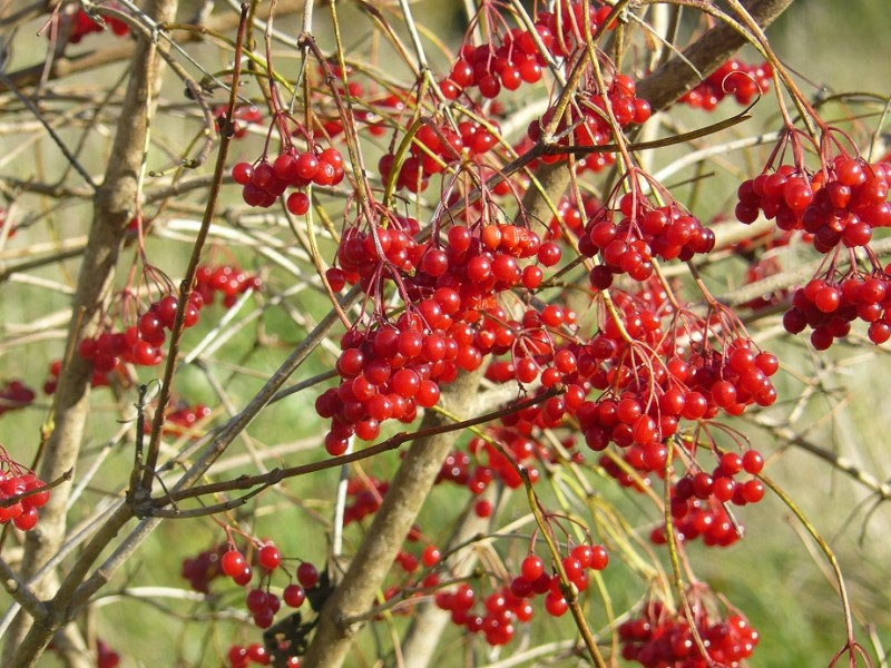 Красные грозди калины остаются на деревьях после опадения всех их листьев