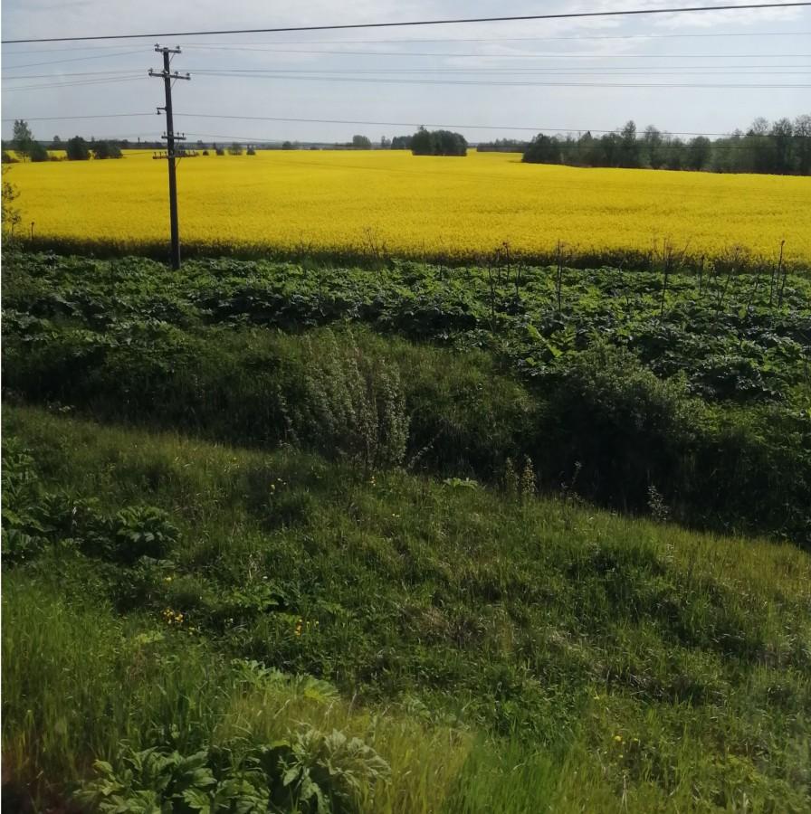 Поле перед селом Великое в начале июля начали вновь возделывать года три тому назад. Похоже, что поле засеяно рапсом. Раньше на нем рос только борщевик, который остается вдоль пути в Ленинградской области до сих пор.