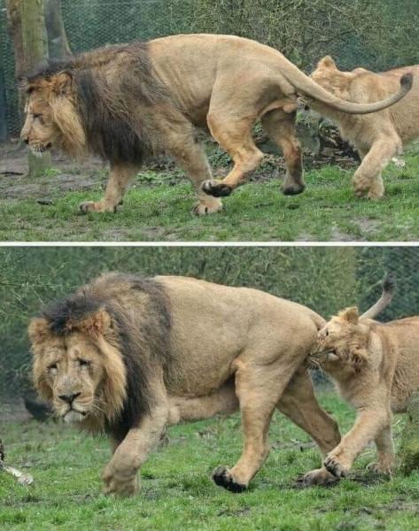 И львам несладко....jpg