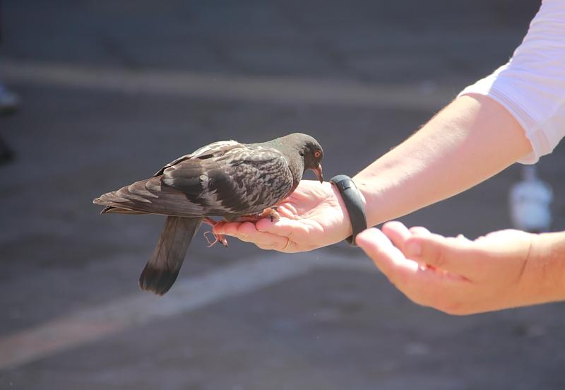 17 голубь