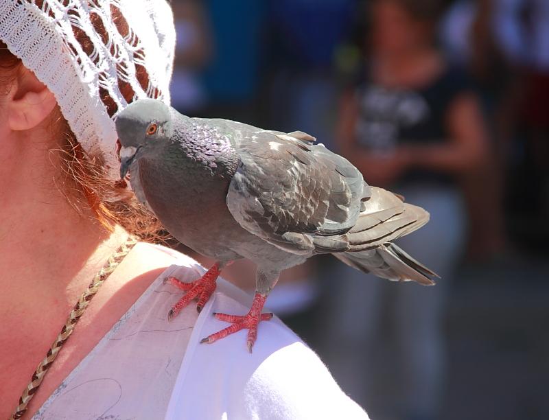 18 голубь