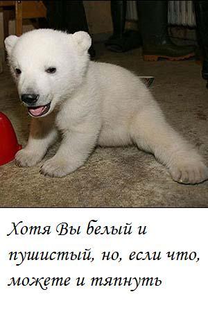 я люблю белых медведей почвы