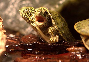двоголова черепаха