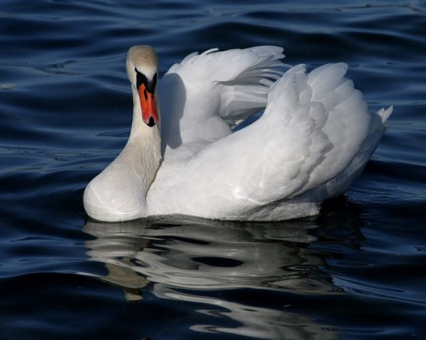 лебедь2