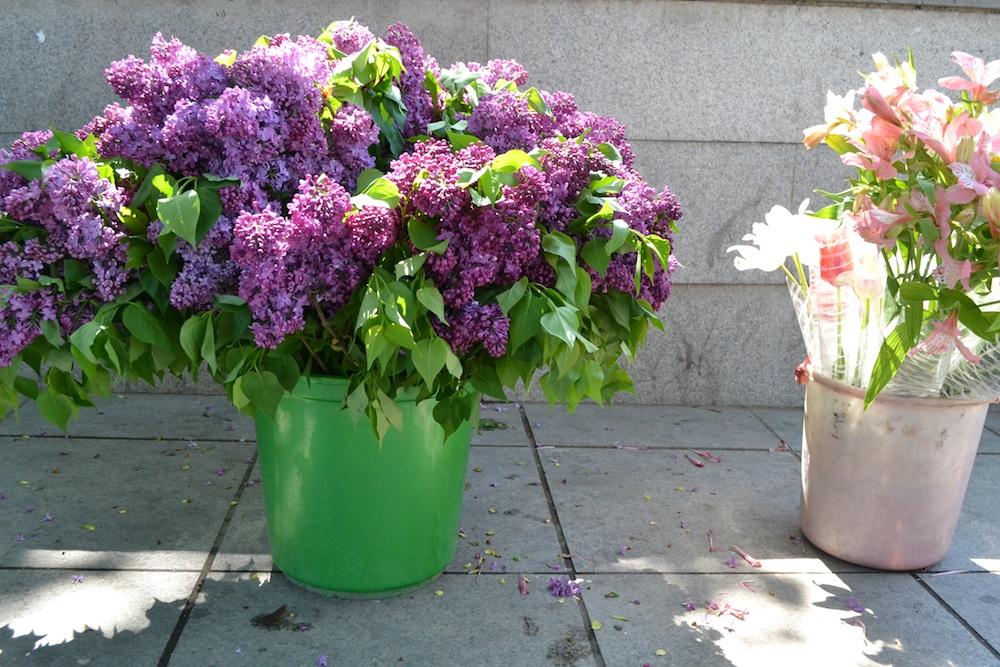 сиренб_цветы