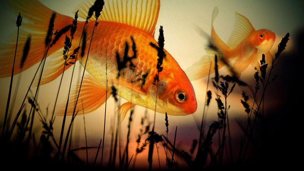 Жар-птица золотая рыбка в небе