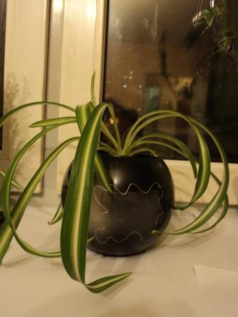 Хлорофитум в красивой вазе
