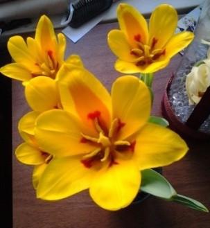 тюльпаны-1