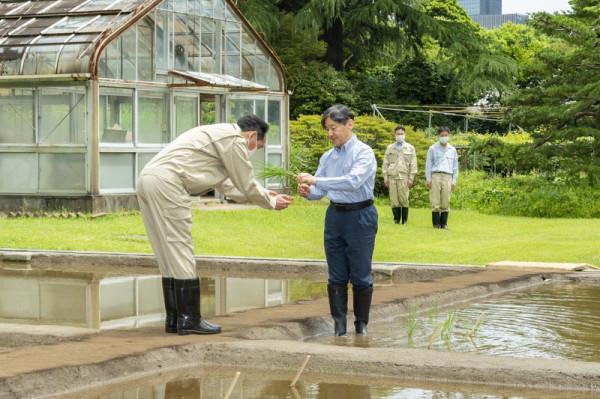 2020-05-25_Emperor plants rice-02