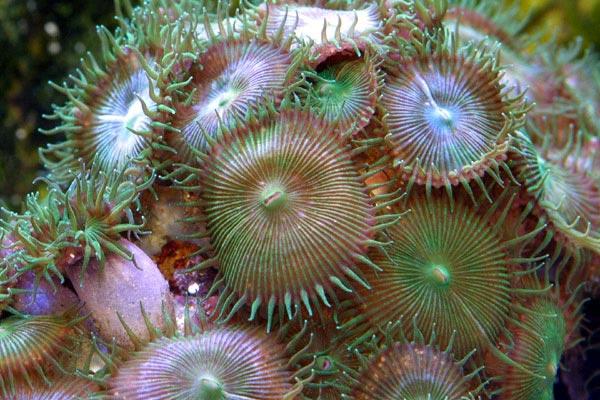 Коралловый полип Palythoa toxica
