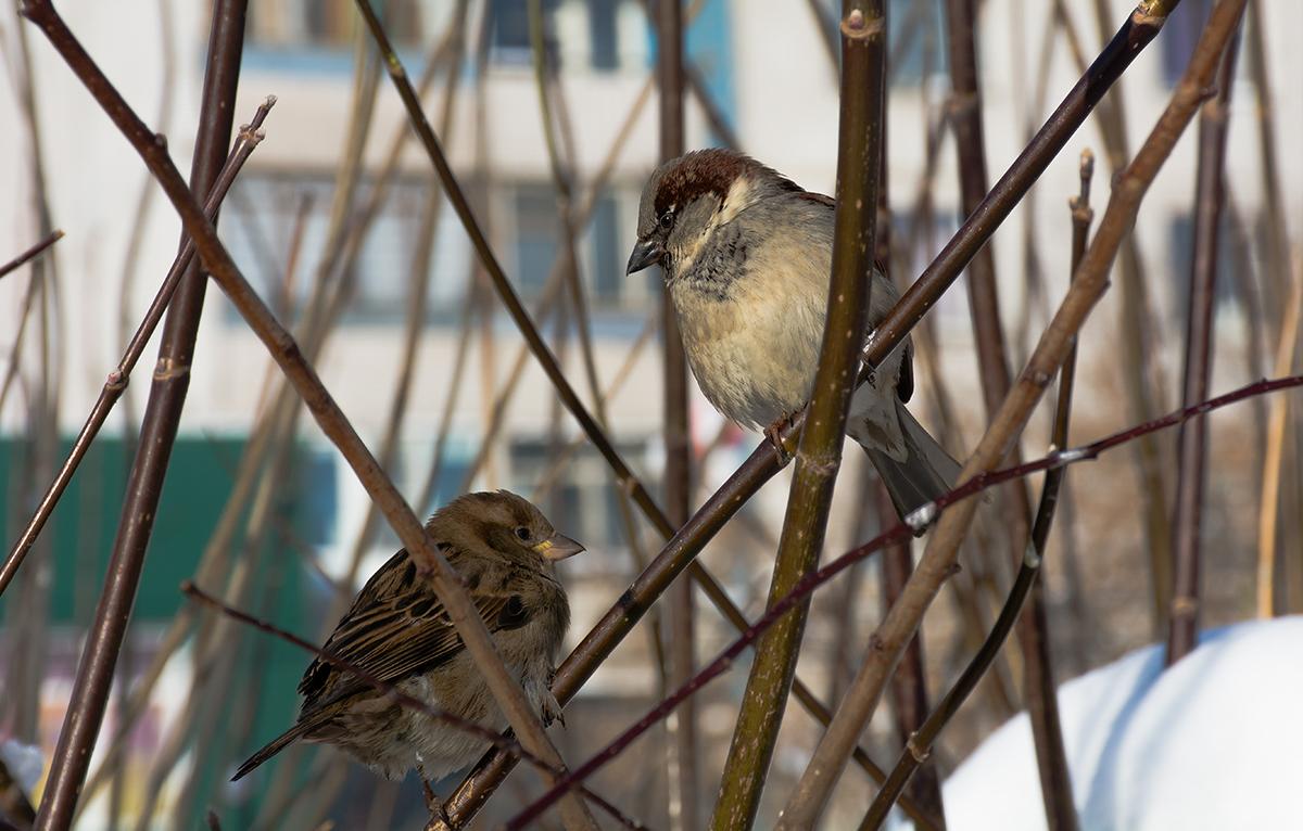 Птички парами