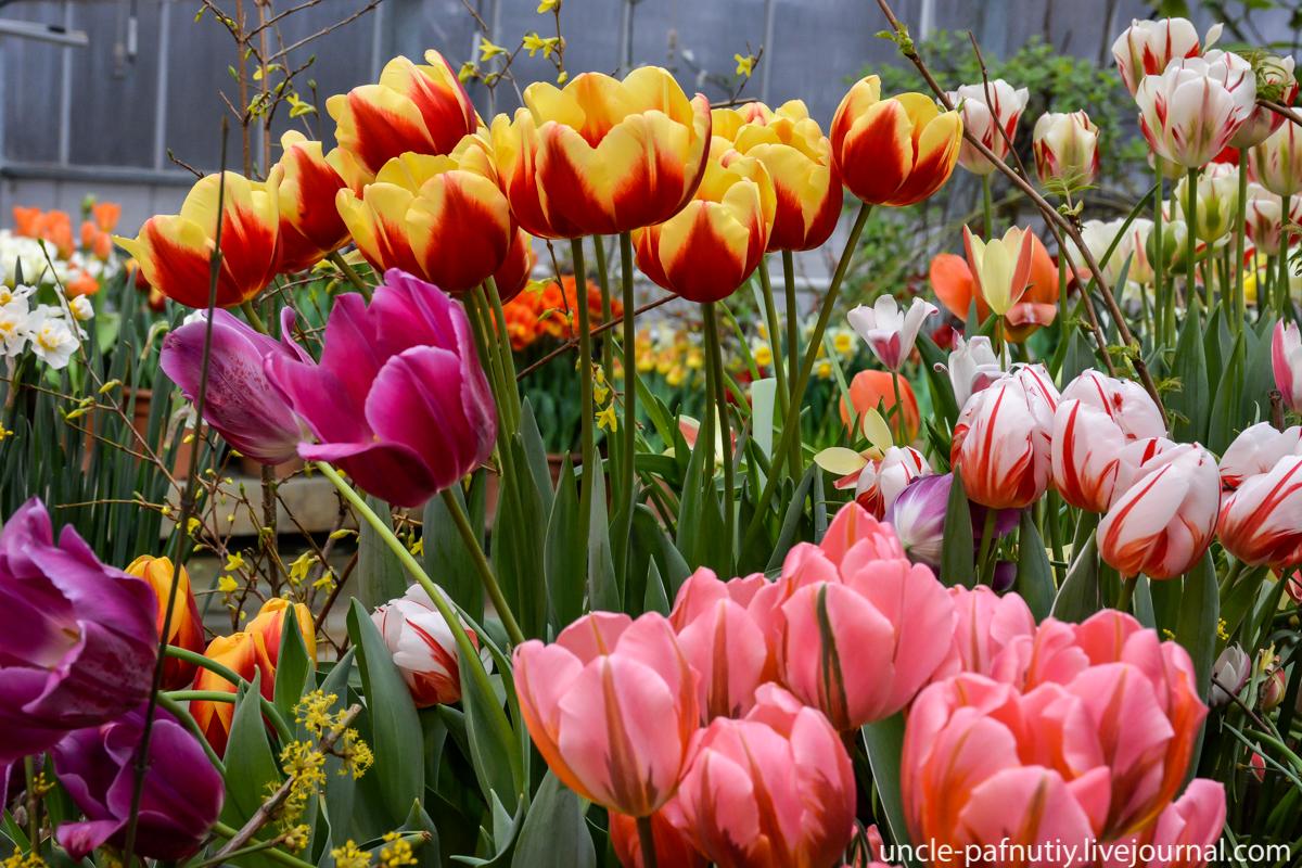 Тюльпаны в Аптекарском