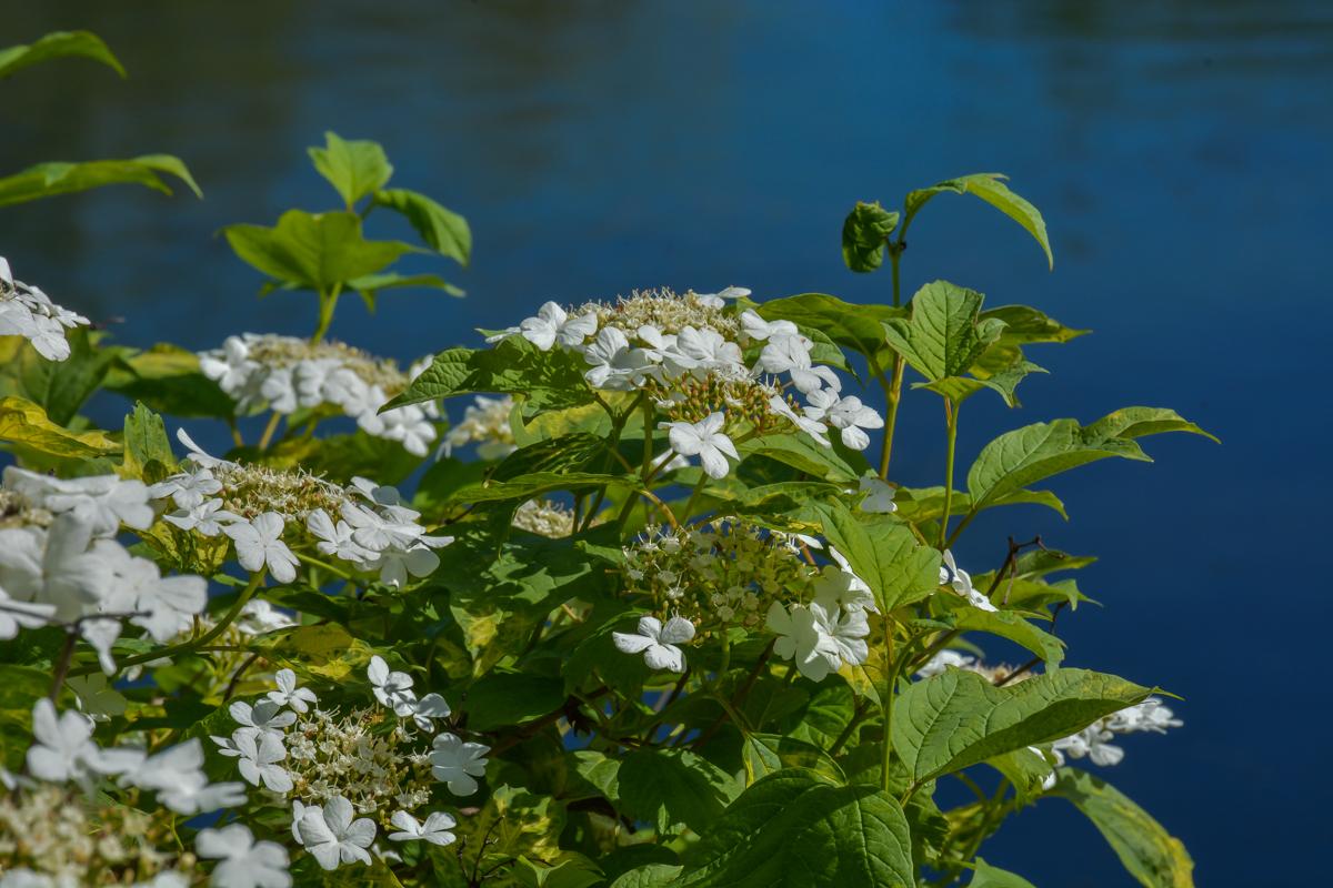 Белый куст у пруда