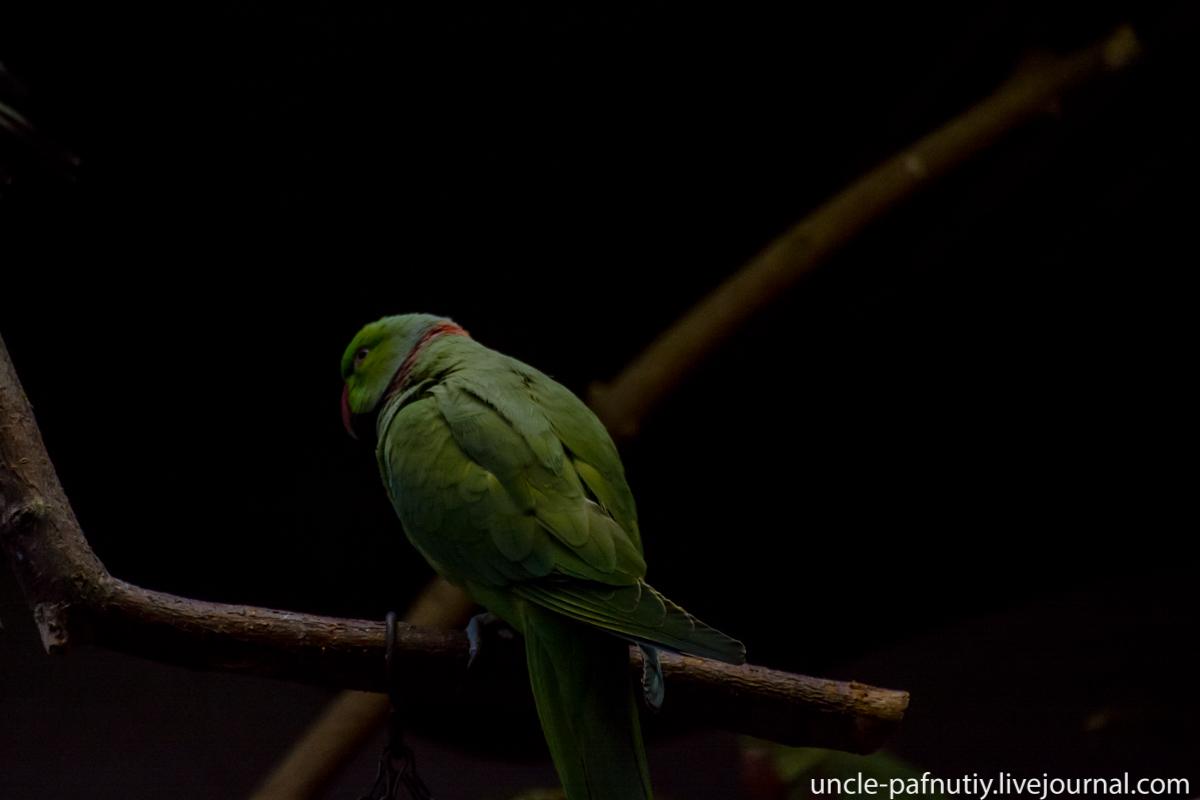 Кольчатый попугай