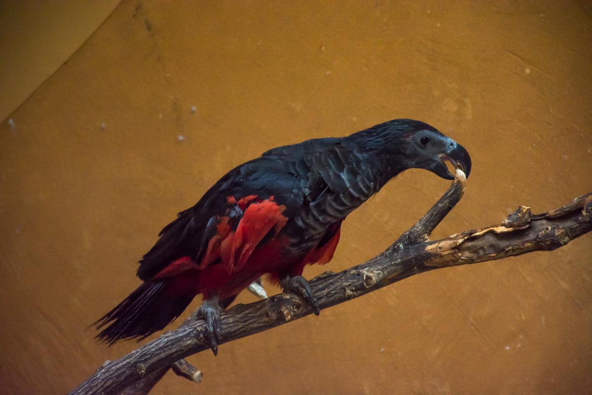 Попугай Дракула