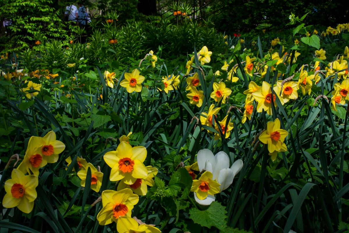 Весенняя выставка цветов. Нарциссы