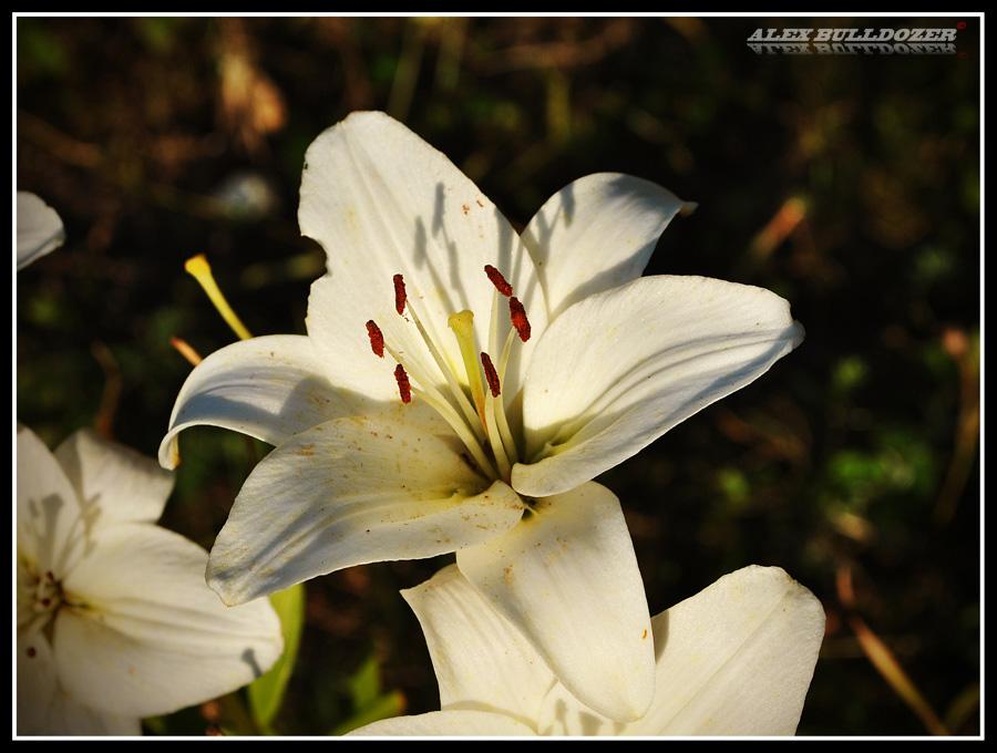 цветок9