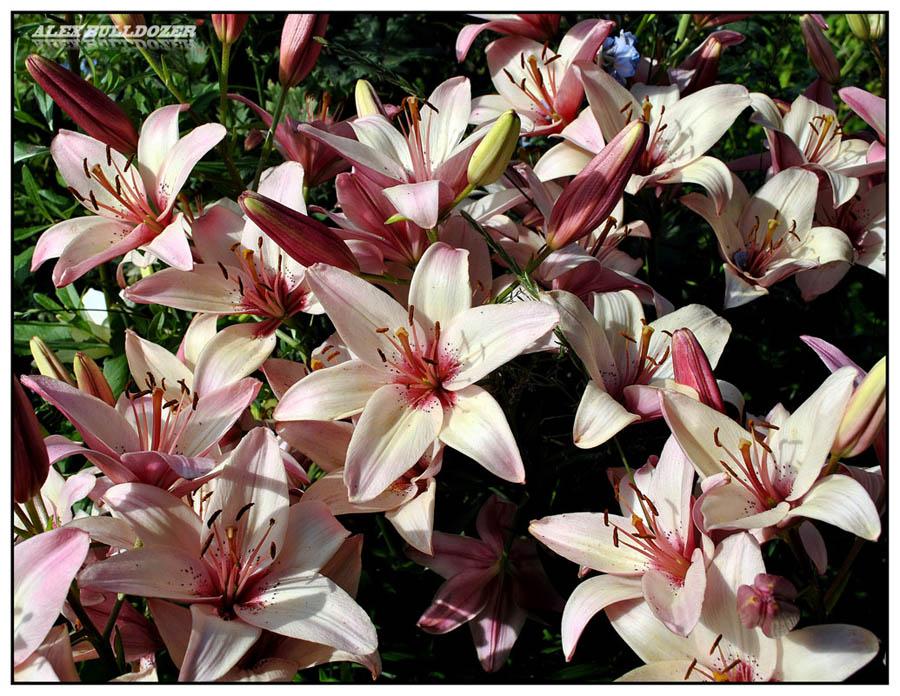 цветок11