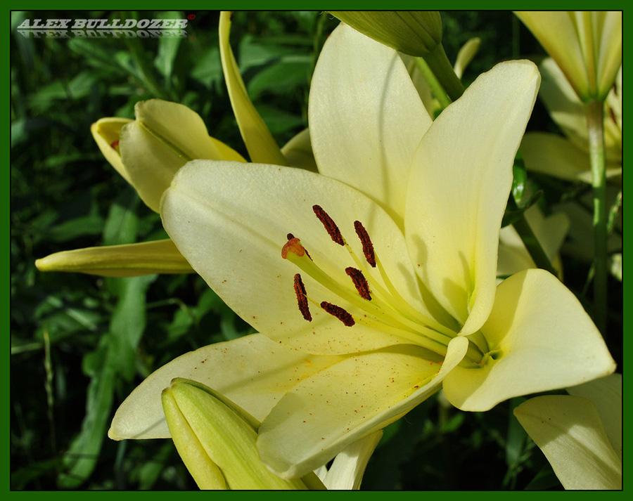 цветок13