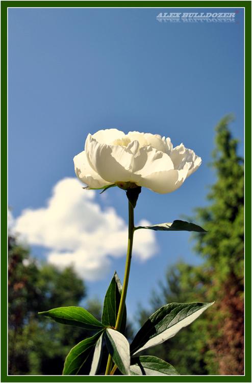 цветок17