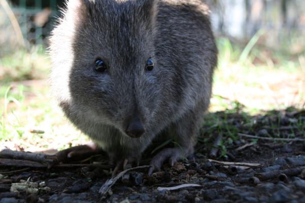 Kein Wombat