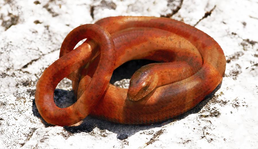 snake_sausage_lj