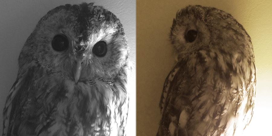 owlclose1_lj