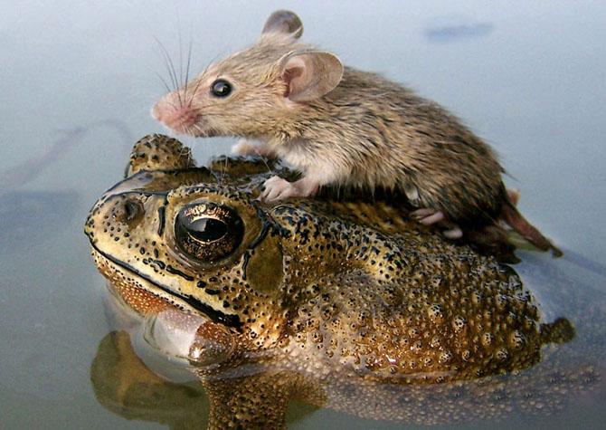 Мышь плывет на лягушке