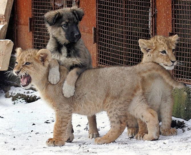 Два львенка и собака во дворе частного дома в Харькове