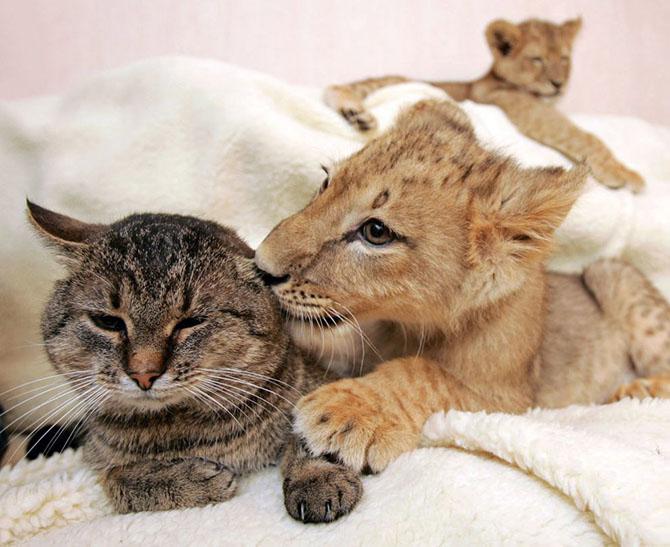 Львенок и кошка. Видно, насколько мощнее у будущей большой кошки лапы