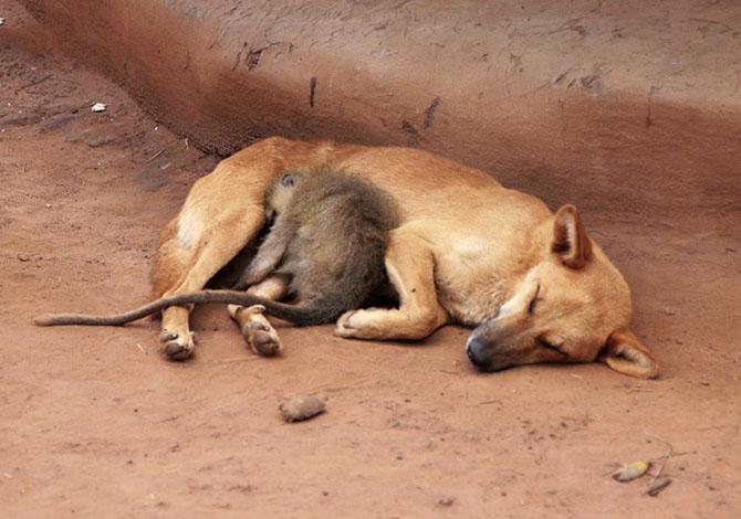 Сончас. Обезьяна спит рядом с собакой