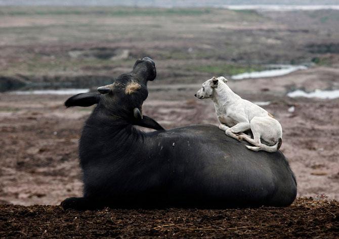 Собака и буйвол в Лахоре