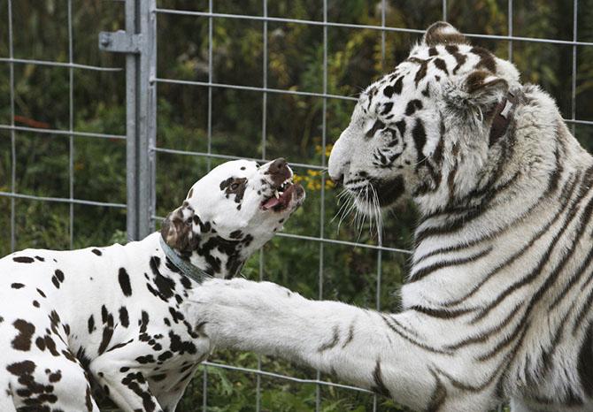 Годовалый белый тигр и 4-летний пес в Берлине