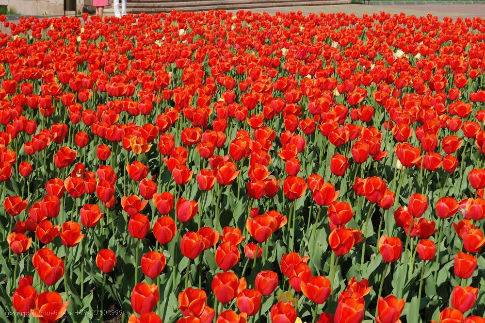 фотограф Челябинск публичная библиотека тюльпаны