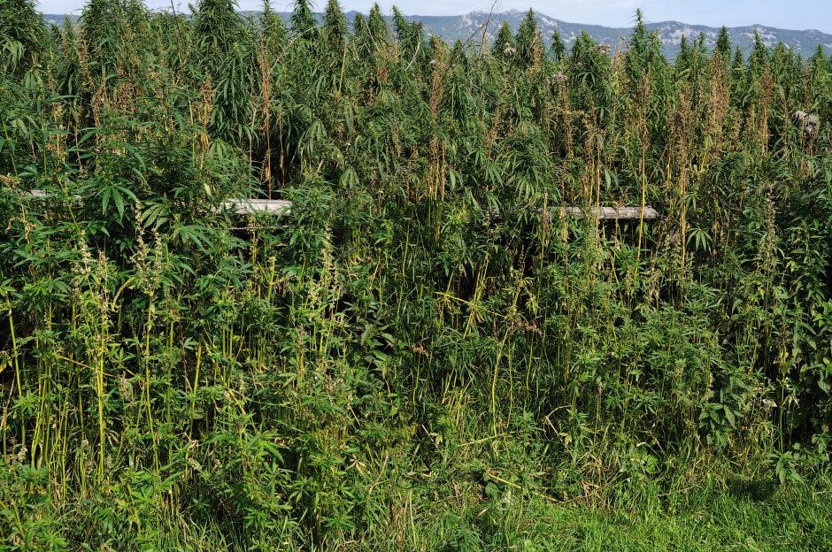 марихуана каннабис конопля