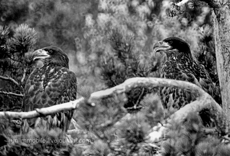 птенцы орлана-белохвоста на гнезде
